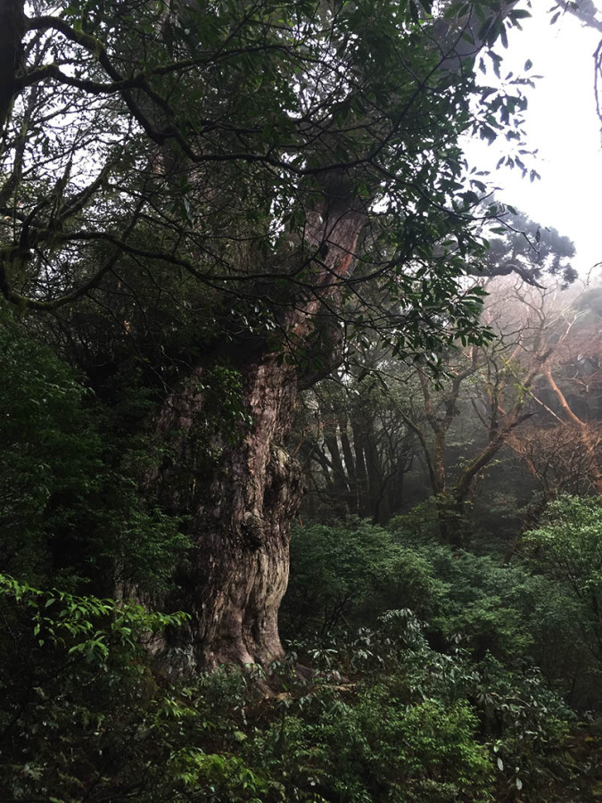 kagoshima-yakushima-joumonsugi141