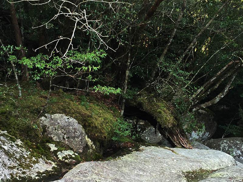 kagoshima-yakushima-joumonsugi229